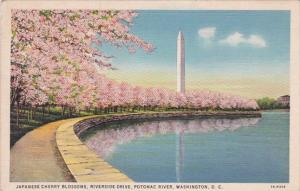 Washington DC Japanese Cherry Blossoms Riversiode Drive Potomac River