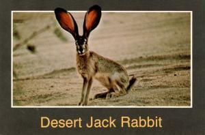 Desert Jack Rabbit in Arizona