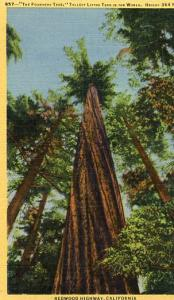 CA - Redwood Highway, The Founders Tree- Tallest in the world at 364 Feet