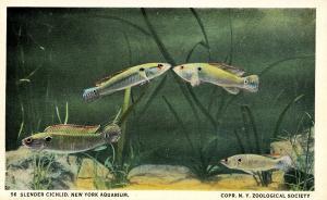 Fish - Slender Cichlid