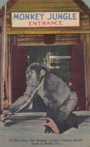 MIAMI , Florida , 1930-40s ; Monkey Jungle , BULU The Gorilla