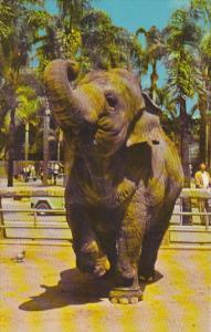 Indian Elephant San Diego Zoo California