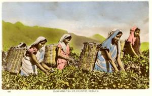Ceylon - Plucking Tea   *RPPC