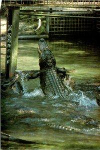 Postcard Gator Lagoon Feeding Time Homosassa Springs Nature World Florida 1887