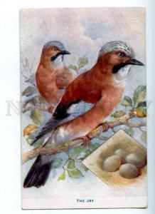 157075 Hunt JAY Carrulus glandarius Vintage TUCK Colorful PC