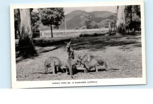 *Kangaroos Australia Murray Views Gympie Q RPPC Vintage Real Photo Postcard C10