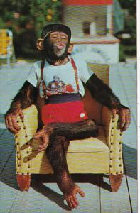 Florida Miami Chimpanzee Waiting For A Kiss At The Monkey Jungle