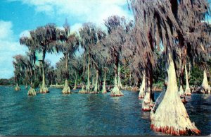 FLorida Winter Haven Cypress Gardens Cypress Trees