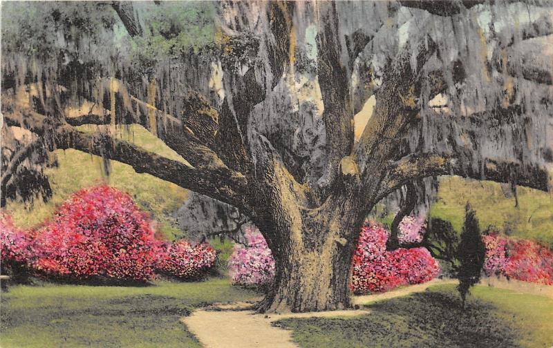 Charleston South Carolina~Middleton Place Gardens The Great Oak~Handcolored  Pc
