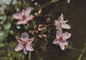 Butomus Umbellatus - A Perennial Plant, 1950-1960s