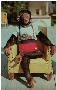 Postcard - Chimpanzee Waiting For A Kiss At Monkey Jungle, Miami, Florida