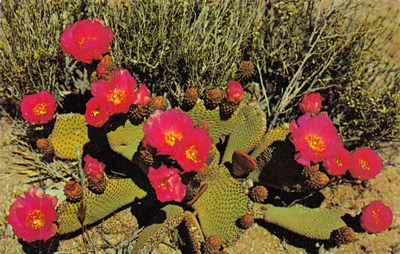 Vintage Postcard Beavertail Cactus in Blossom, Southwestern Deserts, USA #472