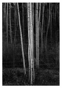 Aspens - Northern New Mexico