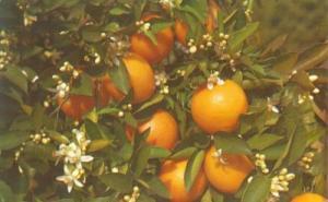Branch of an Orange Tree, Florida, unused Postcard