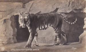 Tiger At Zoological Garden Berlin Germany Real Photo