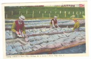 Curing Codfish At Perce, Perce, Quebec, Canada, 1930-1940s