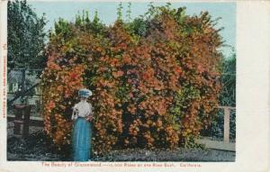 The Beauty of Glazenwood, Rose Bush,California,00-10s
