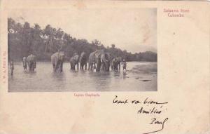 Ceylon Sri Lanka Elephants Crossing River 1903