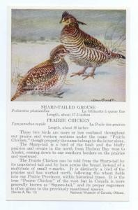 Sharp-Tailed Grouse & Prairie Chicken painted, National Museum of Canada Ottawa