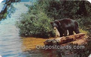 Bears, Vintage Collectable Postcards Adirondack Mountains, NY, USA Black Bears