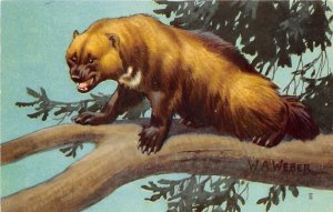 WOLVERINE by W.A. Webster 1958 National Wildlife Federation Postcard