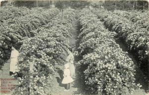 Blackberry Field Hood River Oregon OR full bloom Postcard