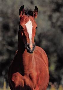 Horse Hrebecek ceskeho Teplokrevnika Pferde Chevau