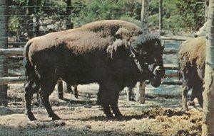 WASAGA BEACH, Ontario, Canada, PU-1970; American Bison or Buffalo, Ontario Zo...