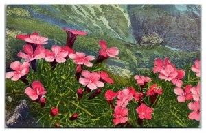 DIANTHUS GLACIALLS Flowers Blooming Mountain Vintage Postcard