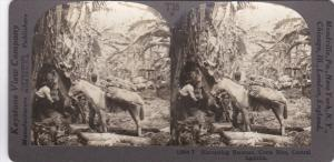 SV: 1910s ; Harvesting Bananas , COSTA RICA