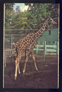 Mendon, Massachusetts/MA Postcard, Giraffe, Southwick Wild Animal Farm