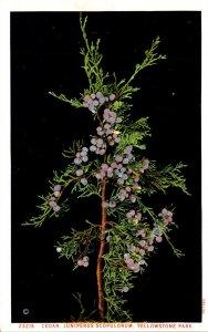 Yellowstone National Park Cedar Juniperus Scopulorum Haynes Photo