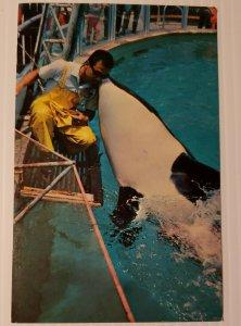 Vintage Postcard Sea World Shamu San Diego California first Trained Killer Whale