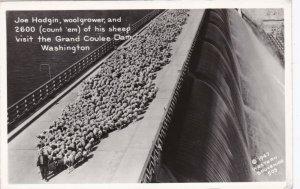 Washington Joe Hodgin Crossing Grand Coulee Dam With 2600 SheepReal Photo sk1508