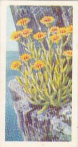 Brooke Bond Tea Trade Card Wild Flowers No 41 Golden Samphire