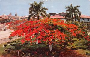 Panama Old Vintage Antique Post Card Acacia Tree Plaza de Francia Unused