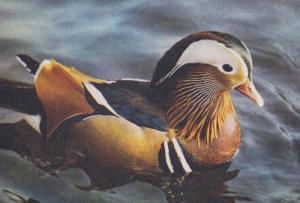 Mandarin Drake 1970s Postcard