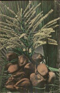 Keu West FL Bunch of Coconuts Used 1909 Postcard