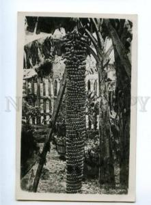 151568 SINGAPORE Banana Tree Vintage photo PC