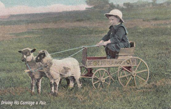 Child Farmer Driving His Sheep Antique Transportation Truck Old Farming Postcard