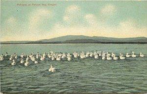 Artist Impression C-1910 Pelicans on Bay Oregon Postcard 12277