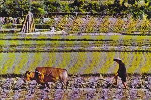 Hong Kong New Territories Ploughing Season Farmer and Oxen