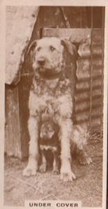 Under Cover Dog Dogs Sheltering Shelter Antique Real Photo Cigarette Card