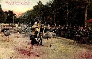 California South Pasadena Cawston's Ostrich Farm Riding The Ostriches