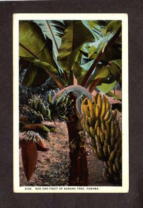 Rep PANAMA Fruit of the Banana Tree Farm Bocas del Toro Postcard Carte :Postale