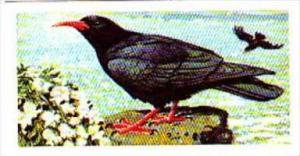 Brooke Bond Tea Trade Card Wild Birds In Britain No 3 Chough