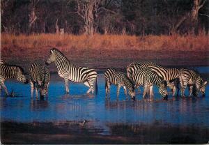Zebra zebras Africa postcard
