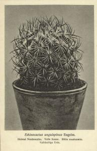 Cactus Cactaceae, Echinocactus Unguispinus Engelm. (1920s) Otto Stoye Postcard