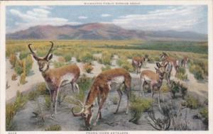 Pronghorn Antelope Milwaukee Public Museum Milwaukee Wisconsin Detroit Publis...