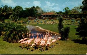 Florida Miami Flamingos At Parrot Jungle